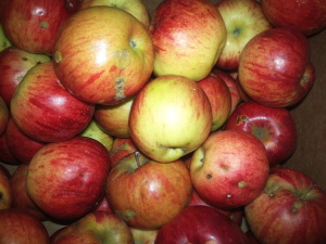 Apples fresh from the trees